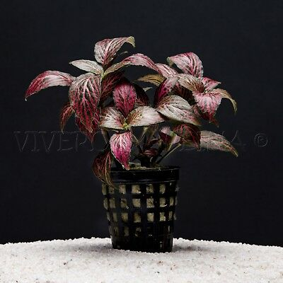 Planta De Acuario: Fitonia Forest Red Flame