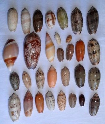 Sea Shell -  Coquillages -Olives - Collection De 31 Pieces Differentes
