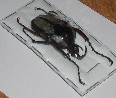 Herculaisia Melaleuca Hercules Beetle Real Insect Thailand Taxidermy