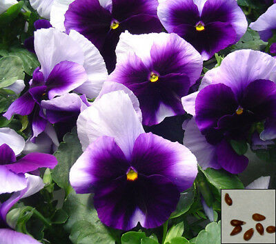 Pansy Swiss Giant 100 seeds Viola x Wittrockiana CombSH Colorful Easy Grow