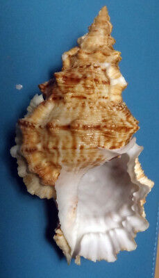 SEA SHELL -  COQUILLAGE - BURSIDAE - BURSA TULUIGRANOSA - 137.30mm