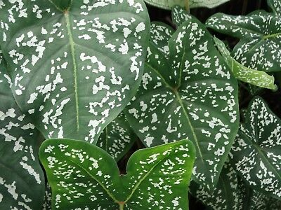 49 - A Fine Leafed Little Caladium - Very Leafy, Green with Bright White Spots