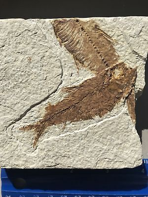 Rare Double Fossil Fish, Green River Formation, Wyoming #12