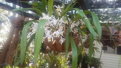 Coelogyne Unchained Melody Orchid
