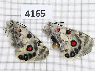 Butterfly. Parnassius imperator douhao? Yunnan, Akesai. 1P. Rare offer. 4165.