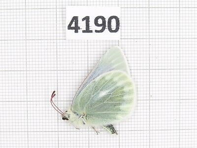 Butterfly. Colias  aedigii. S of Gansu, Xiahe. 1M. Rare offer. 4190.
