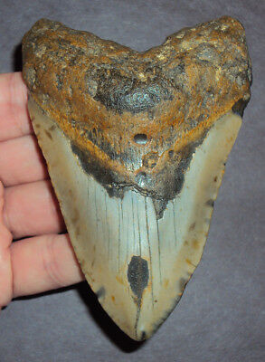 """Very Large 4.284"""" Megalodon Shark Tooth Fossil from North Carolina! sharks teeth"""