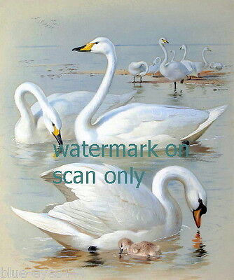 c1930~Mute Swan Swans~Cygnet~Cygnus Olor~Thorburn~Bird~Birds~ NEW Lg Note Cards