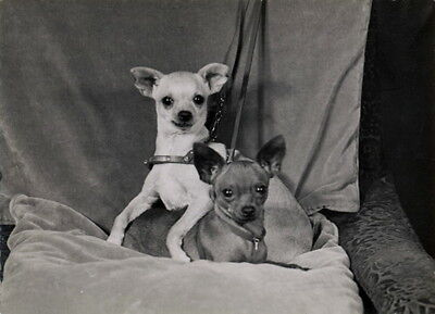 Vintg Photo~A Brown & a White Chihuahua Puppy Dogs in Chair~NEW Lge Note Cards