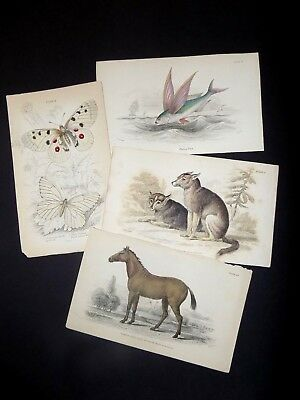 The Naturalist's Library: Flying fish/ Butterfly/ Dog/ Horse Engravings 1830-40