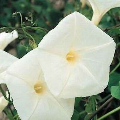 Morning Glory- Pearly Gates- 50 Seeds- BOGO 50% off SALE