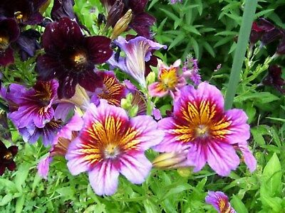 Painted Tongue- Salpiglossis- 100 Seeds - - BOGO 50% off SALE
