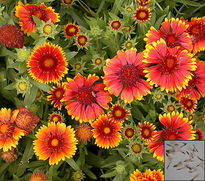 BLANKETFLOWER MIX - 330 seeds - Gaillardia aristata - PERENNIAL FLOWER #1108