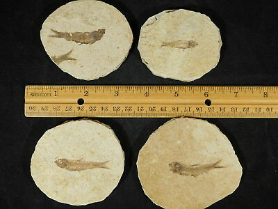 Lot of FOUR! Small 100% Natural Fossil Fish 50 Million Years Old Wyoming 285gr