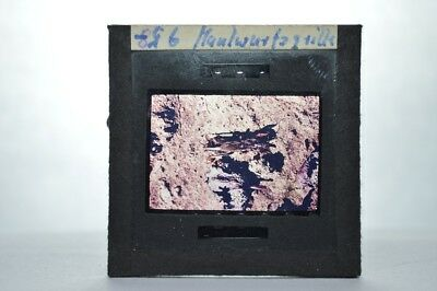 Glas Dia Glass Slide -  Tier Tiere Animal -  Maulwurfsgrille