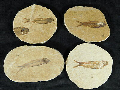 Lot of FOUR! Small 100% Natural Fossil Fish 50 Million Years Old Wyoming 186gr