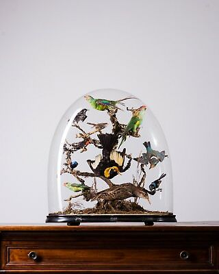 TAXIDERMY AUSTRALIAN BIRDS DOME stuffed taxidermie victorian antique