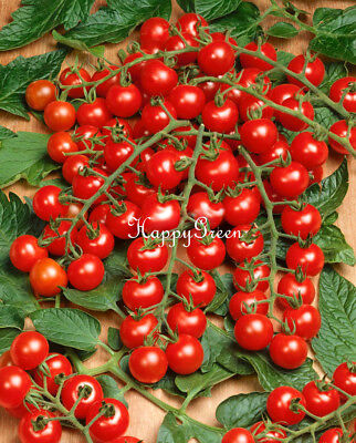 VEGETABLE CHERRY TOMATO CHARMANT F1 - 50 SEEDS - Medium-early hybrid variety