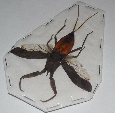 Nepa Rubra Red Water Scorpion Real Insect Taxidermy