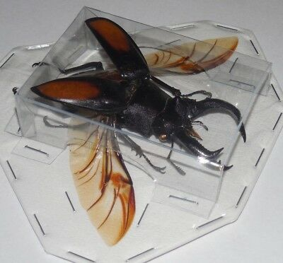 Hexarthrius Parryi Spread Wings Beetle Real Insect Taxidermy