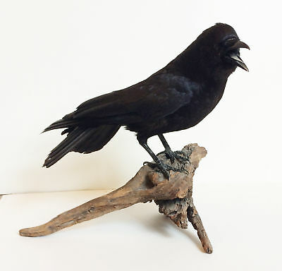 Taxidermy Crow -- Beautiful Shiny Black Bird Standing on Gnarled Wood Open Mouth