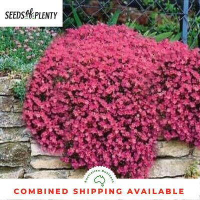 ROCK CRESS - Cascade Red  (150 Seeds) Ground Cover HEIRLOOM Creeper ROCKERY