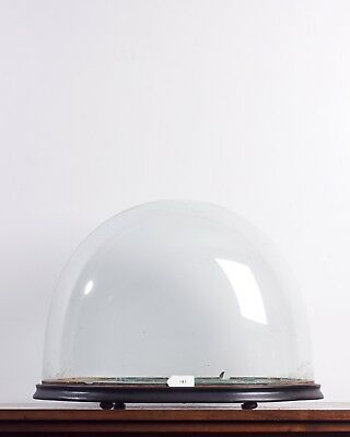 OVAL GLASS DOME 43CM X 32CM X 29CM victorian clock taxidermy