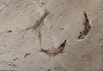 Lebanon Fish Fossil,Pseudastacus and Gaudryella,Upper Cretaceous 100 million yrs