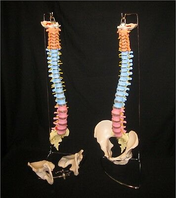 LifeSize Didactic Colored Flexible Anatomical Human Vertebral Spine Model +Stand