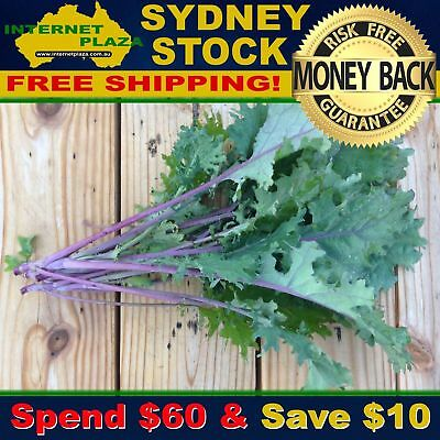 50 Red Russian Kale Seeds For the Home Garden - Brassica oleraces var.acephala
