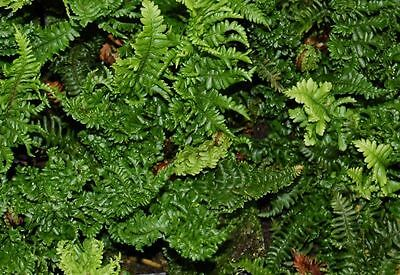 1 Dryopteris crispa congesta Fern Hardy Evergreen Groundcover Living Green Wall