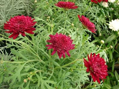 Daisy Plant Double Red $6 Look Great With Geraniums   Postage  3 For $8.00