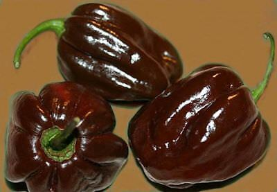 Vegetable Hot Chilli Pepper Habanero Chocolate 60 Seeds #4029