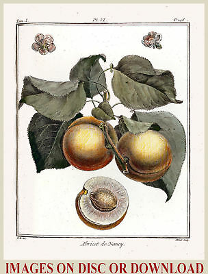 Create & Sell ANTIQUE FRUIT PRINTS - Premium Restored Images Collection