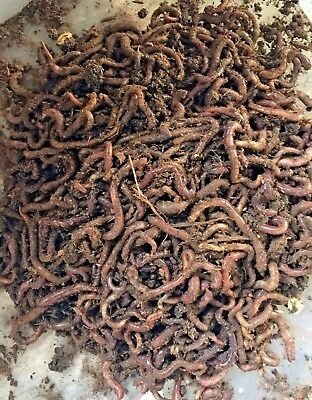 Red Worms Red Wigglers Compost Worms Free Shipping! Free Paper Bedding! Bulk!!