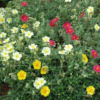 HELIANTHEMUM BEN PHADA yellow miniature rock rose