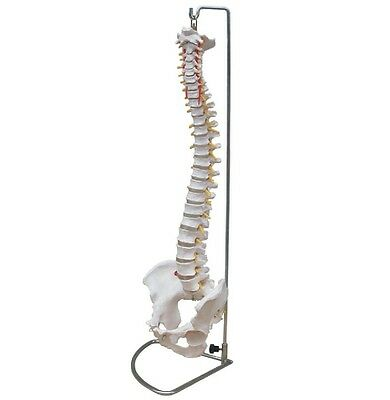 Anatomical Human Spine Life Size Chiropractic Flexible Anatomy Model w/Stand NEW