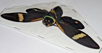 Formotosena montivaga CICADA REAL INSECT INDONESIAN TAXIDERMY