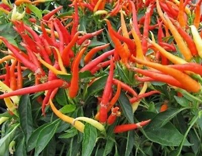 Vegetable Hot Chilli Pepper Patio Fire 60 Finest Seeds #4163