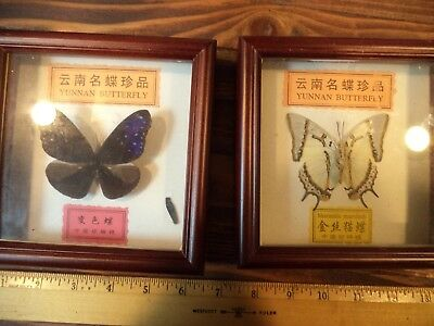 Old Vintage Real Butterfly / Moth Collection Framed