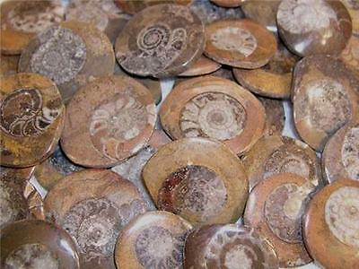 Ammonites 50 million years old 5 piece lots polished on one side N.Africa