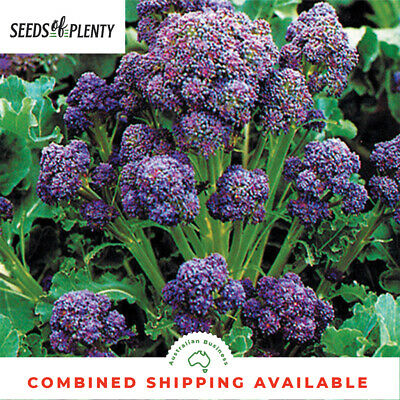 BROCCOLI - Purple Sprouting (1000 Seeds) HEIRLOOM Bulk