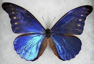 Insect/Butterfly/ Morpho rhetenor cacica - Male 5""