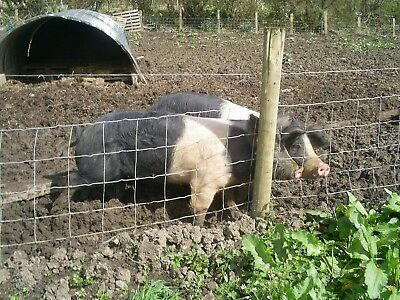 Saddleback Pigs Sows