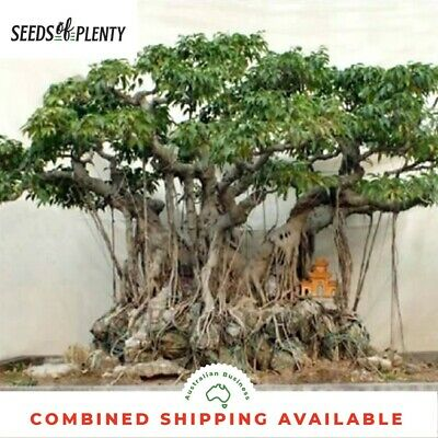 Weeping Fig - Ficus benjamina (200 Bonsai Seeds)