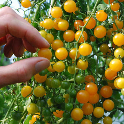 Vegetable Tomato Currant Gold Rush 100 Finest Seeds #4282