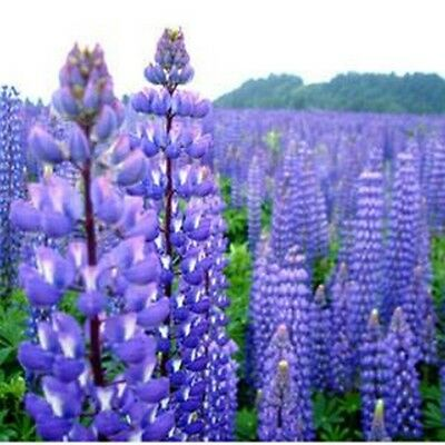 Lupine- Perennis-  100 seeds- BOGO 50% off SALE