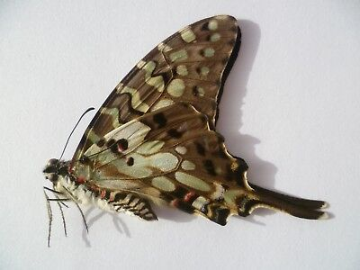 Graphium Antheus M,  UNMOUNTED,  SIN MONTAR  A1   BUTTERFLY