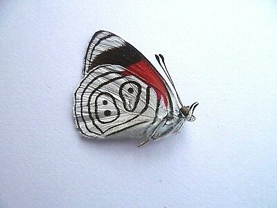 Diaethria Neglecta,  UNMOUNTED,  SIN MONTAR  A1   BUTTERFLY
