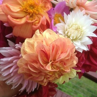 Mixed Dahlia Tubers – Stunning Colours And Extensive Varieties . 1.8  To 2.3kg